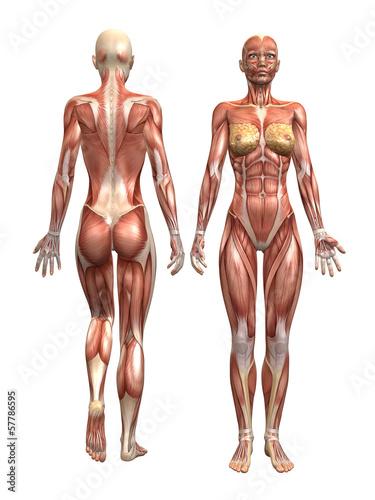 GamesAgeddon - Anatomie Muskel Mann - Lizenzfreie Fotos, Vektoren ...