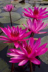 red lotus flower in the water
