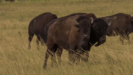 American buffalo (bison) walk together and graze grassland