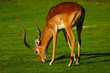Mature male impala on a lawn