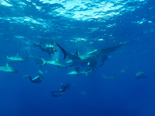 Caribbean reef sharks (Carcharhinus perezi) and scubadivers