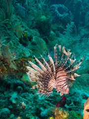 toxic common lionfish (Pterois volitans)