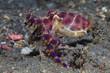Blauringkrake (Hapalochlaena sp)