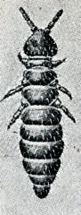 Snow flea (Hypogastrura nivicola)