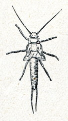 Nymph of Giant Black Stonefly (Pteronarcys dorsata )