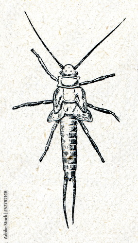Nymph of Giant Black Stonefly (Pteronarcys dorsata )