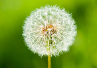 big dandelion on green grass background