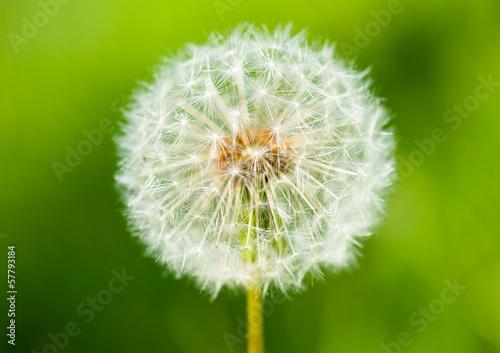 big dandelion on green grass background © soleg