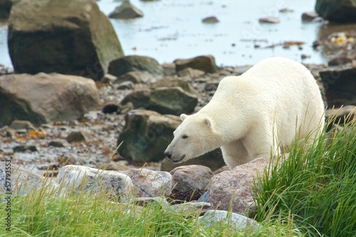 Polar Bear between rocks