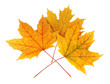 Yellow maple leaves isolated on white