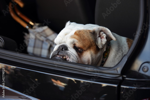 english bulldog in a trunk