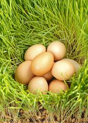 Chicken eggs between green wheat