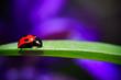 ナナホシテントウ虫のアップ