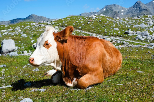 Cow on a mountain meadow