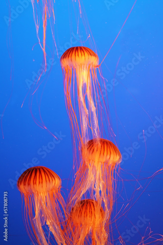 Four orange-red jellyfish