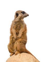 Meerkat (suricate)