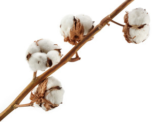 Cotton plant isolated on white