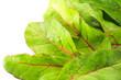 Green salad background. Chard on white