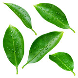 Fototapety Citrus leaves with drops isolated on a white background