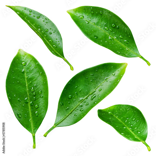 canvas print picture Citrus leaves with drops isolated on a white background