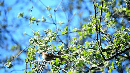 Sparrows sing and tweet on a flowering apple tree