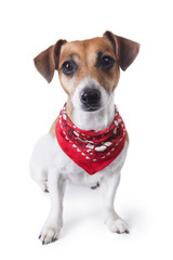 Cute dog in red bandana