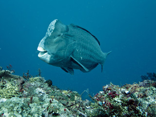 Green Humphead Parrotfish, Tulamben, Bali