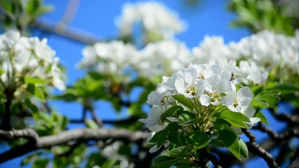 Pear tree blossom in spring in front of blue sky