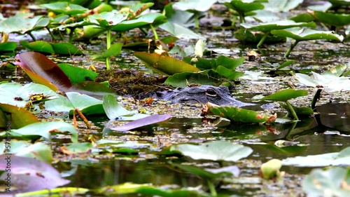 American Alligator in the Everglades,