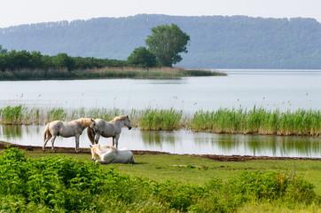 Cavalli bianchi sul Lago di Vico