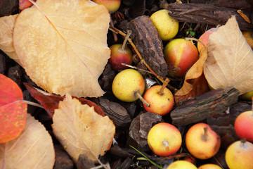 wilde Äpfel