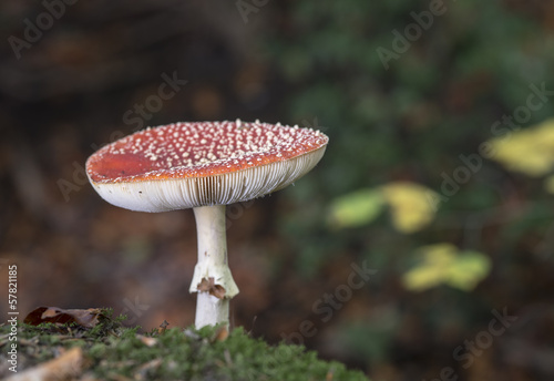 Amanita muscaria or fly agaric
