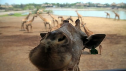 Cute giraffe in zoo