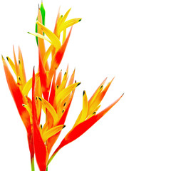 orange Heliconia