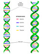 DNA molecule vector diagram