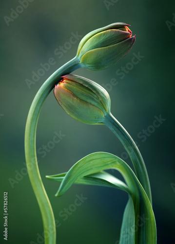 Fototapety, obrazy : Tulipany