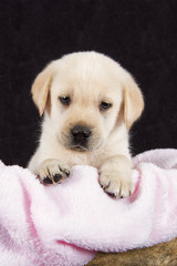 Beautiful labrador puppy lying in box with pink towe