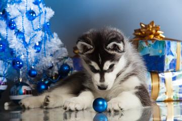 cute husky puppy