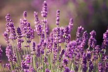 fleurs de lavande dans le domaine