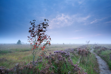 rowan berry tree and flowering heather