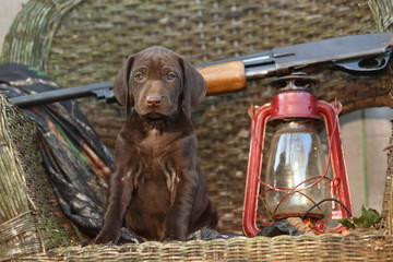 German Short Haired Pointer Puppy with Shotgun