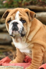 Wrinkly English Bulldog Puppy