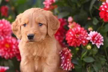Dark Golden Retriever Puppy with Flowers