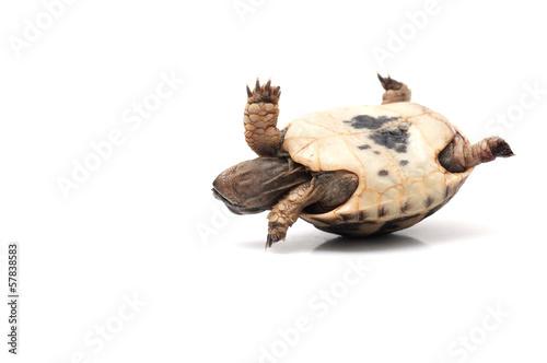 Turtle - 57838583