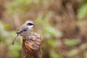 Grey Bushchat, he waits for worn on the stump, Thailand