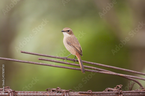 Grey Bushchat (Saxicola ferreus), he waits for worn on the stump