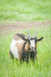 bleating goat in a grassy meadow
