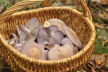 champignons pied-bleus