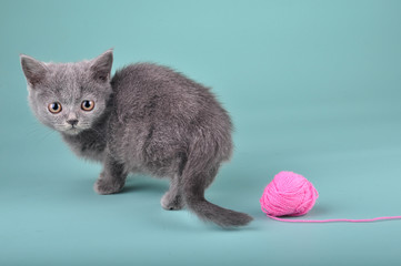 small Scottish straight kitten with a woolball