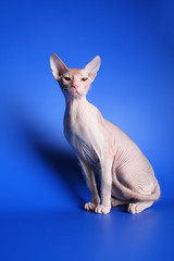 Egyptian cat on a blue background